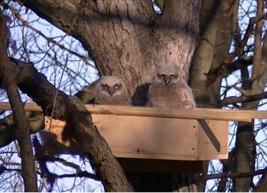 Two baby owls in a nesting box in a tree