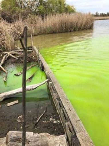 Green-dyed water in a wetland area