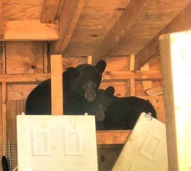 Two young bears in a wooden shed