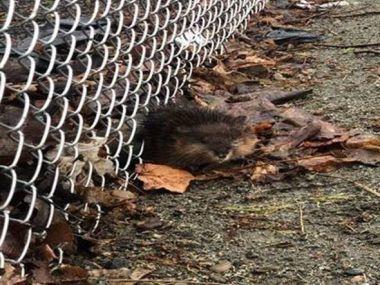 muskrat stuck under fencing