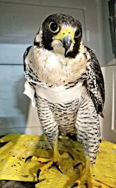 photo of falcon with bandage around wing in an animal crate