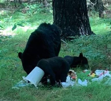 Three bears in woods, one with a plastic bucket stuck on its head