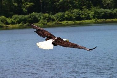 photo of an eagle with wings spread fully as it is released from rehabilitation