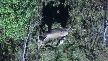 view of a moose in the woods from above