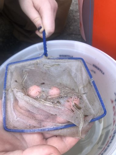 small transparent eels in a little net