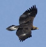 The majestic Golden Eagle in flight -- a rare treat for New York bird watchers during the spring and fall eagle migrations.