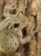 A gray tree frog on a tree