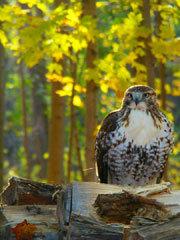 A red-tail hawk, one of New York's many birds of prey, watches from a woodpile.
