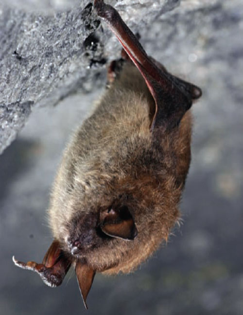 a photo of a little brown bat