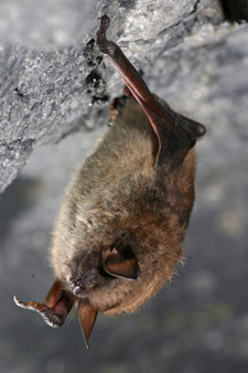 little brown bat roosting in a cave