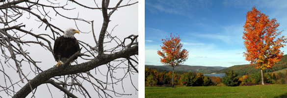 A bald eagle on a tree branch in the left photo and two red-leaved maple trees in the right photo