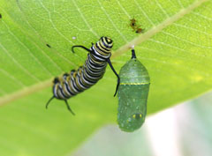 A monarch caterpiller and chrysalis on the underside of a leaf
