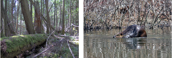 Nelson Swamp woods in the left photo, Beaver in water in the right photo
