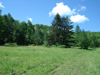 grassy field with pine trees along the edge of the woods