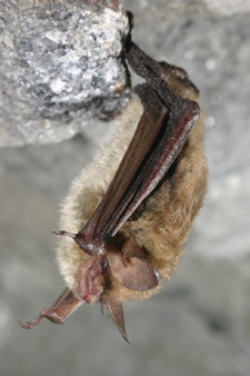photo of a northern bat
