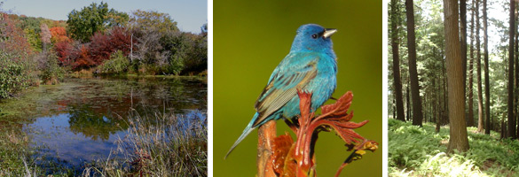 Pfeiffer Nature Center, pond, Indigo Bunting, woods