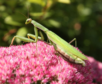 Praying mantis on a pink sedum flower