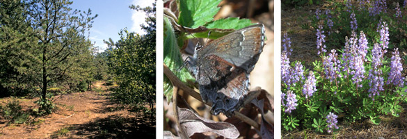 pine barrens, frosted elfin butterfly, blue lupines