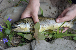 A pair of hands holding trout against rocks and flowers as a backdrop