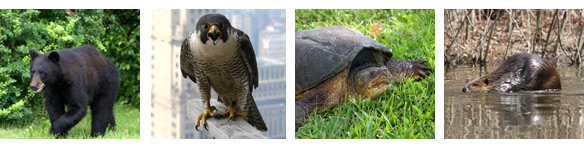A bear, a peregrine falcon, a snapping turtle and a beaver