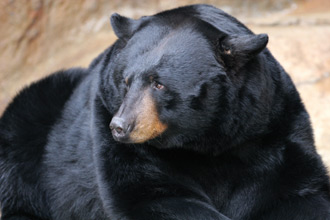 A mature black bear