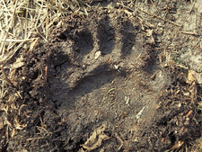 A front bear paw track in the earth