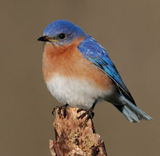 An Eastern bluebird perched on a stump