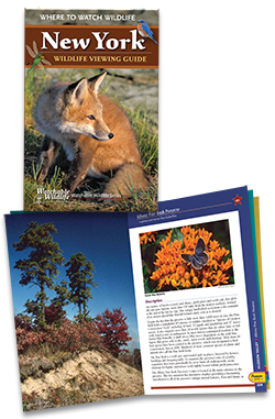 image of fox on NY Wildlife Viewing Guide