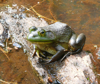 A bullfrog sitting on a log in the water