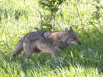 A coyote walking through a field