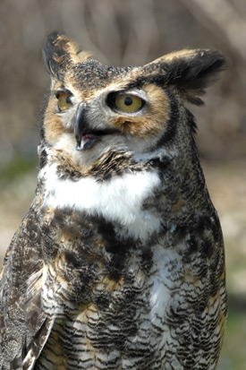 Upper body and head of a great horned owl