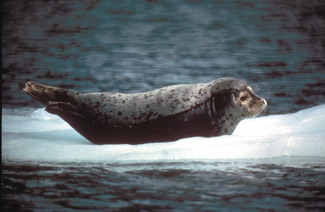 A harbor seal floating on a piece of floating ice