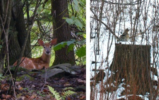 Deer, Ruffed grouse