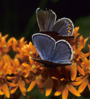 Two Karner Blues feeding on an orange flower