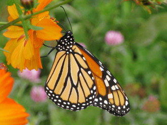 Monarch Butterfly Stages on Monarch Butterfly Danaus Plexippus Photo Susan Shafer