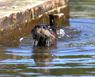 A river otter with just its head above the water's surface