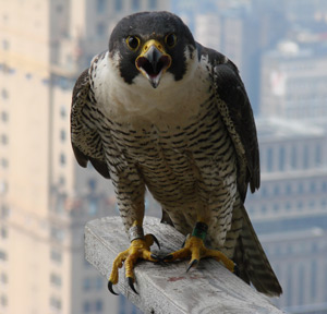 A female peregrine falcon in an urban area