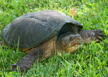 A mature snapping turtle in the grass