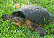 A snapping turtle laying in the grass