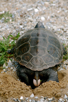 Female diamondback terrapin laying eggs in the sand