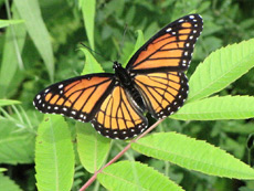 A Viceroy butterly on a leaf