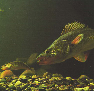 An underwater photo of a walleye