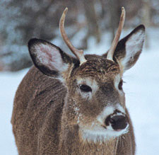 A young buck in the winter
