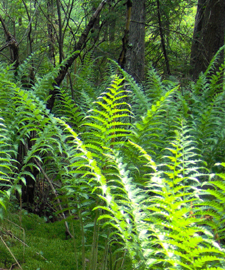 A close-up of fern fronds