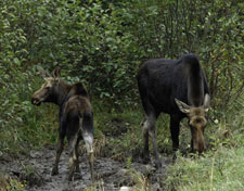 A photo of an adult and younger moose in the forest