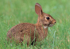 Photo of a New England cottontail rabbit in the grass