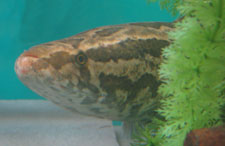 A photo of a Northern Snakehead in a tank.