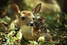 A fawn sitting in the woods