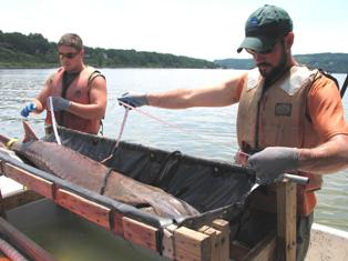 Hudson River Fisheries Unit measuring the length of an Atlantic sturgeon