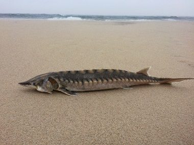 washed up Atlantic sturgeon on the south shore of Long Island